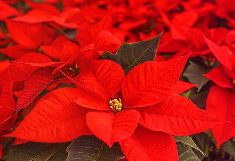 Poinsettia : 5 astuces pour bien entretenir son étoile de Noël