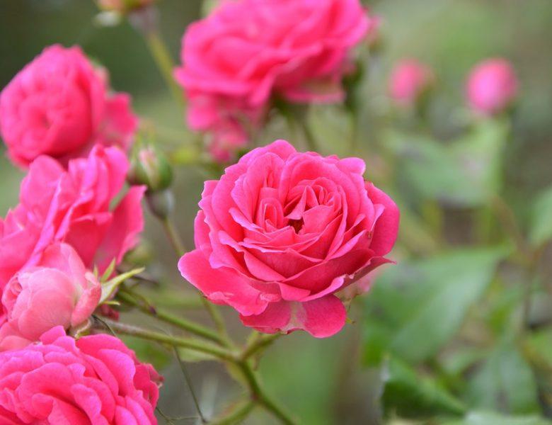 9 idées pour (bien) utiliser des rosiers au jardin