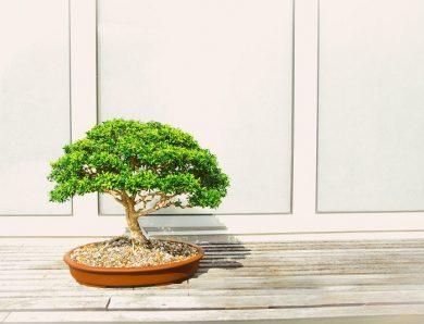 Les astuces pour bien s'occuper d'un arbre japonais